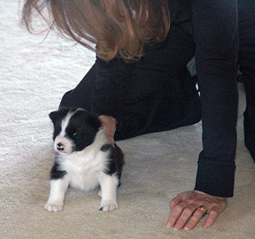 Karelian Bear Dog Rescue California