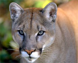 What Is The Male Equivalent Of A Cougar